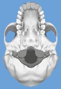 rechte atlas onderaanzicht schedel